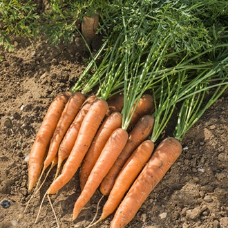 Carrot Dart F1 Seeds