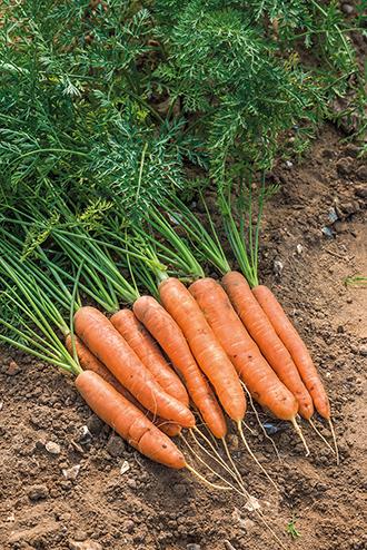 Carrot Nandor F1 Seeds