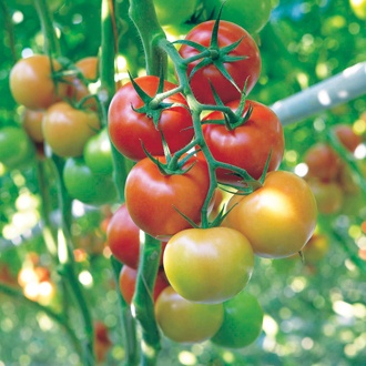 Tomato Tourance F1 Seeds
