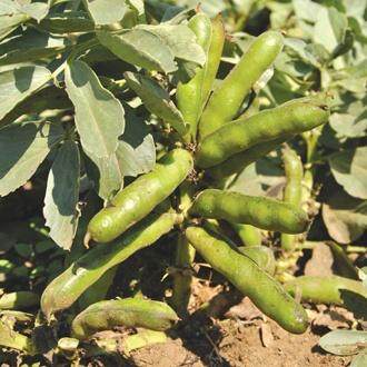 Broad Bean Robin Hood AGM Seeds
