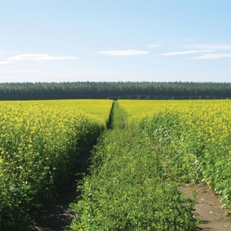 Caliente Mustard 199 Green Manure Seeds