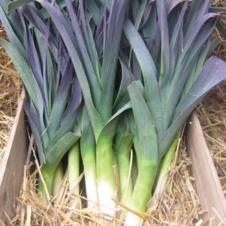 Leek Northern Lights Seeds