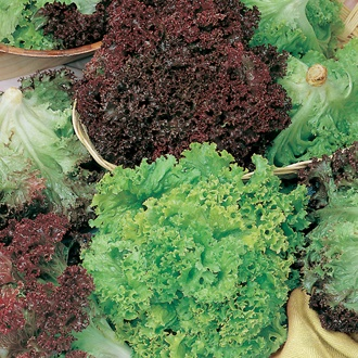 Lettuce Lollo and Lollo Rossa Mixed Seeds
