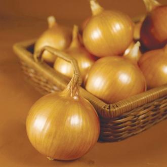 Tough Ball F1 Onion Plants