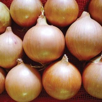 Onion Tasco F1 Seeds