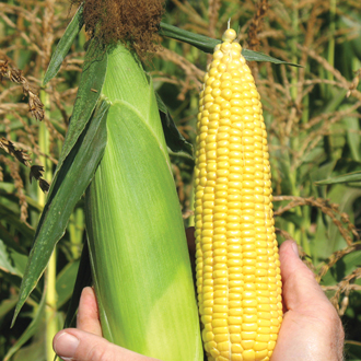 Sweetcorn ACX SS7078Y (Mid) Seeds