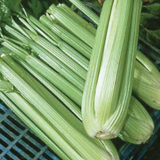 Celery Octavius F1 AGM Seeds
