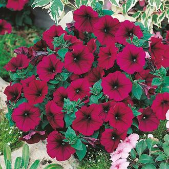 Petunia Mirage Velvet F1 Flower Seeds