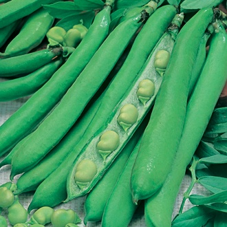 Broad Bean Masterpiece Green Longpod Pint-Seeds