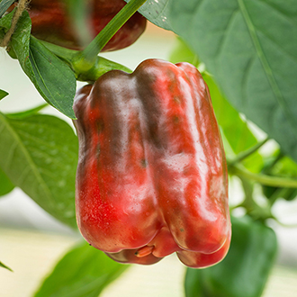Pepper King of the North (Sweet) Seeds
