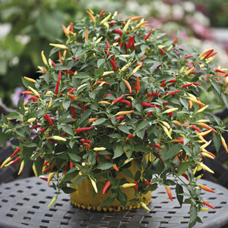 Pepper (Chilli) Basket of Fire Seeds