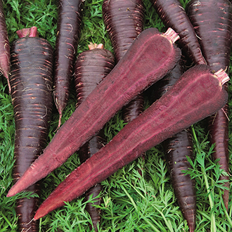 Carrot Deep Purple F1 Seeds