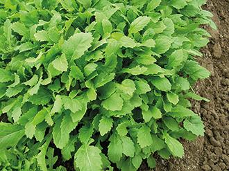 Rocket Wasabi Veg Seeds