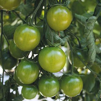 Tomato Sungreen Veg Seeds