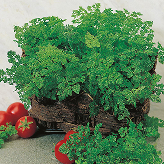 Chervil Herb Seeds