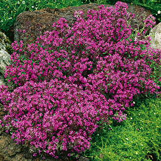 Thyme Creeping Red Herb Seeds