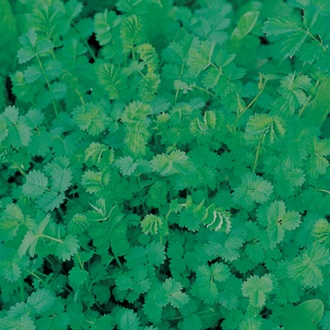Salad Burnet Herb Seeds