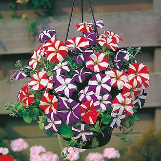 Petunia Stars & Stripes Mixed F1 Flower Seeds