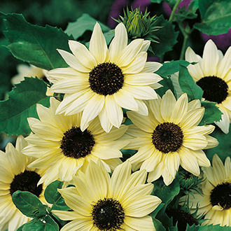 Sunflower Vanilla Ice Flower Seeds
