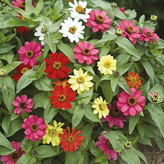 Zinnia Zahara Mixed Flower Seeds