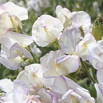 Sweet Pea Hi Scent Flower Seeds