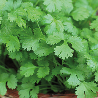 Coriander Cilantro Herb Seeds