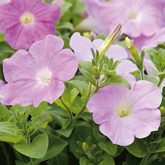 Petunia Supercascade Lilac F1 Flower Seeds
