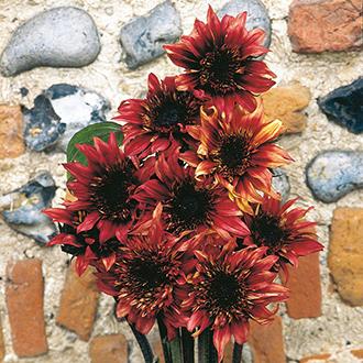 Sunflower Indian Blanket F1 Flower Seeds