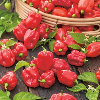 Pepper (Chilli) Trinidad Moruga Scorpion Red Seeds