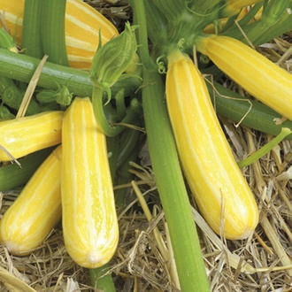 Courgette Gold Mine F1