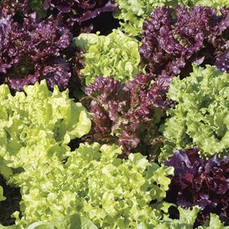 Lettuce Easyleaf Mix