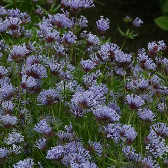 Asperula orientalis - Blue woodruff Flower Seeds