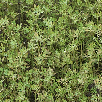 Green Manure Fenugreek