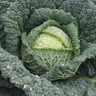 Cabbage Jade F1 Seeds