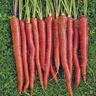 Carrot Malbec F1 Seeds