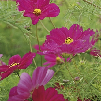 Cosmos Sensation Dazzler Crimson Red
