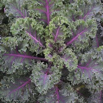 Kale Midnight Sun Seeds
