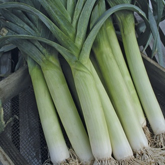 Leek Stocky F1 Vegetable Seeds