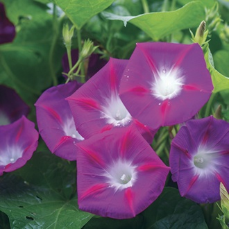Morning Glory Party Dress Flower Seeds