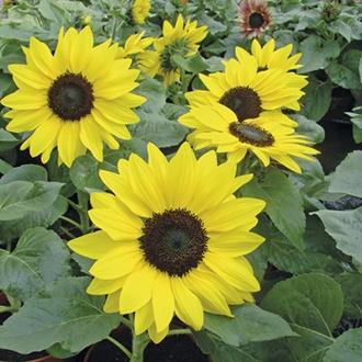 Sunflower Suntastic F1 Flower Seeds