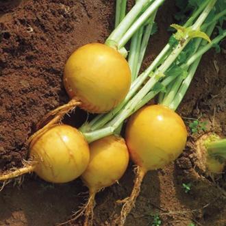 Turnip Oregon F1 Vegetable Seeds