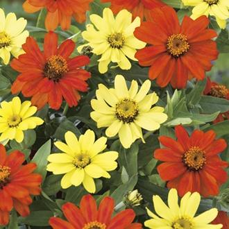 Zinnia Zahara Bonfire Mixed Flower Seeds
