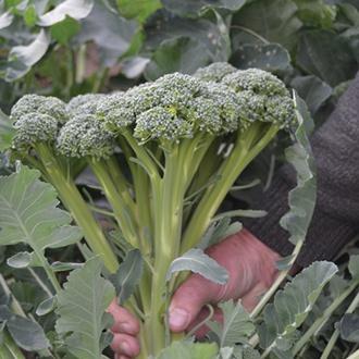 Broccoli Calabrini F1 Vegetable Seeds