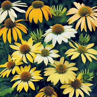 Echinacea Mellow Yellows Flower Seeds