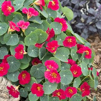 Nasturtium Baby Deep Rose Flower Seeds
