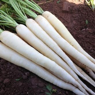 Carrot Snowman F1 Seeds