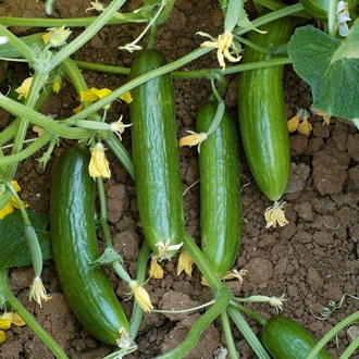 Cucumber (Outdoor) Suprina F1 Seeds