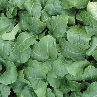 Kale (Ethiopian) Amara Seeds