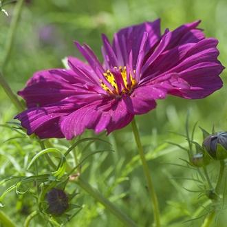 Cosmos Fizzy Purple Flower Seeds