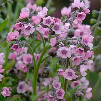 Cynoglossum Mystery Rose Flower Seeds